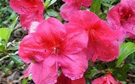 slipper azalea buy slippers azalea 1 gallon azalea shrubs buy