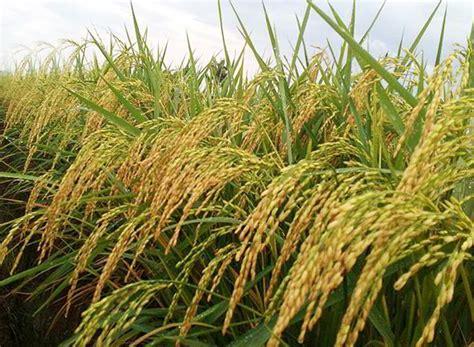 cara membuat zpt tanaman padi jenis jenis pupuk padi dosis dan waktu yang tepat