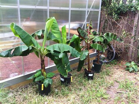 houston fruit tree sale bananas the bell house growing fruit trees in