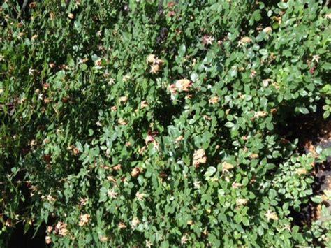 deadheading knockout roses knockout roses keep em flowering all summer