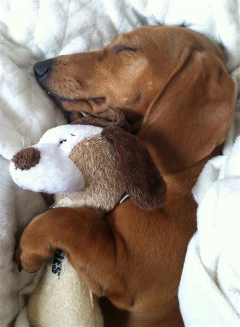 weenie puppies 17 of 2017 s best weiner dogs ideas on weenie dogs dachshund and wiener dogs