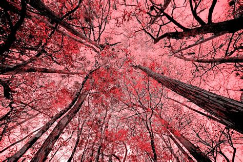 trees meet sky in red 42 quot x78 quot nature 2