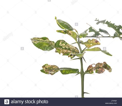 Canker Fruit Tree Stock Photos Amp Canker Fruit Tree Stock
