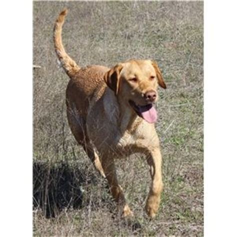 dudley lab puppies for sale dudley labs for sale breeds picture