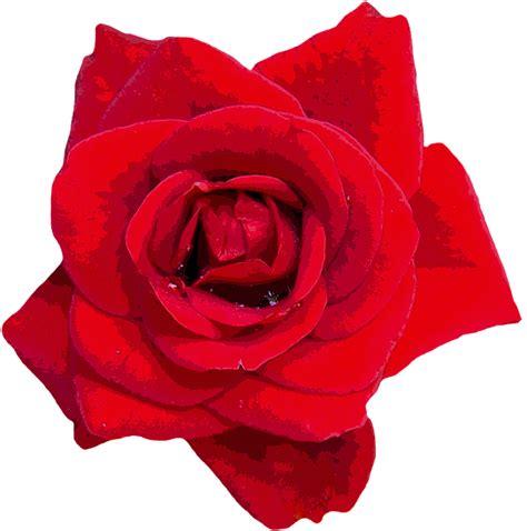 wallpaper bunga mawar vektor ilustrasi gratis mawar merah bunga bunga gambar
