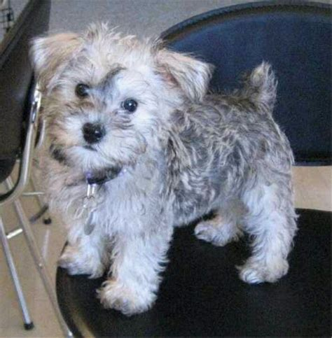 yorkie schnoodle 17 best images about schnoodles on miniature best dogs and cheer