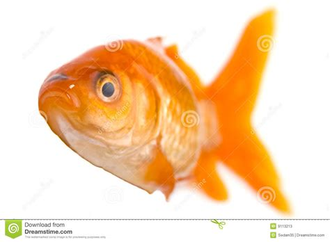 golden fish stock image image of isolated animal