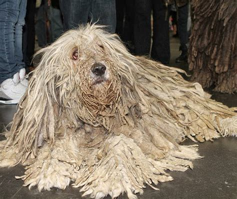 mop breed dogs that look like mops quotes