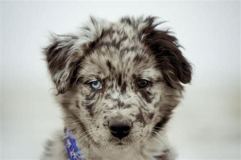 australian sheepdog puppy mini australian shepherd puppy jpg hi res 720p hd