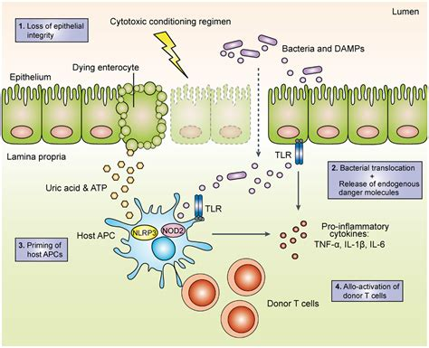 pattern recognition receptors curbing gut inflammation frontiers the role of pattern recognition receptors in