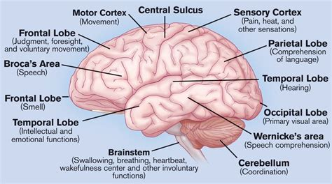 different sections of the brain what do the different parts of your brain control well