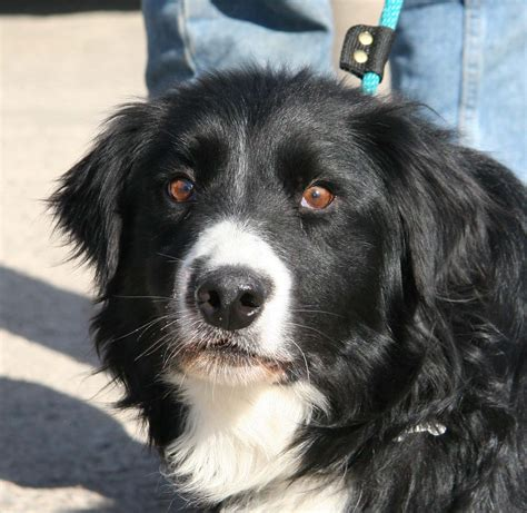 border collie puppies for adoption border collies for adoption breeds picture