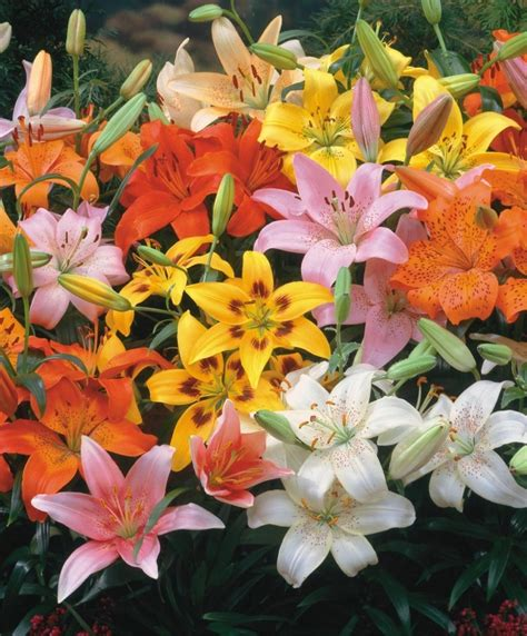 the asiatic lily rainbow mixture naturalizing lily