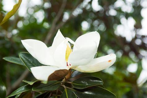magnolia little gem burke s backyard