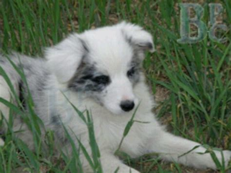 merle border collie puppies 17 best images about border collie on beautiful dogs border collies and