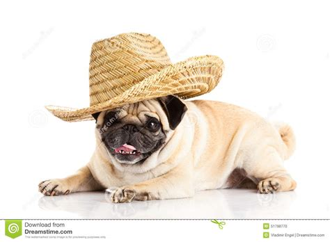 mexican pug pug mexican hat isolated on white background lying stock photo image 51798770
