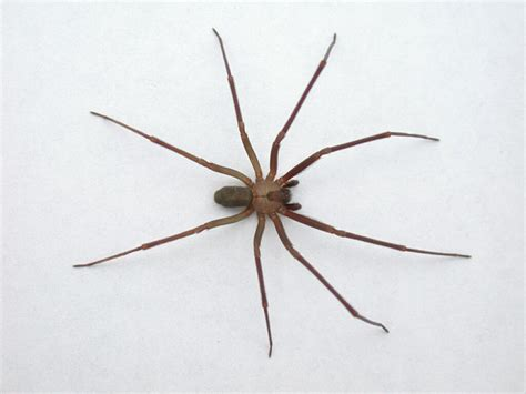 brown recluse image bi state termite and pest