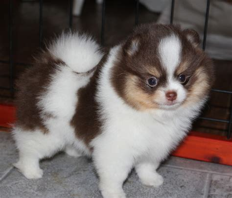 pomeranian puppy uglies s precious pomeranians pom puppy uglies
