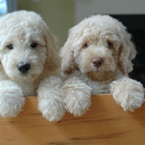 mini goldendoodles size 135 best images about labra goldendoodles on