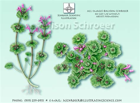Botanic Vs Botanical Henbit Lamium Lexicaule Illustration Or As I Call It