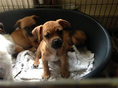 jug puppies for sale jug puppies for sale colchester essex pets4homes