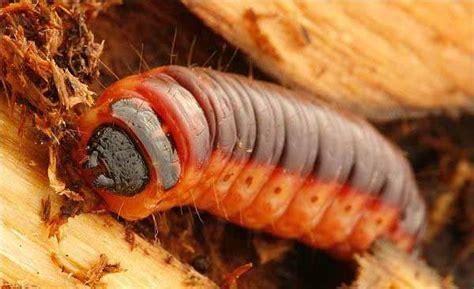 Il Tarlo Per Le come combattere gli insetti che mangiano il legno