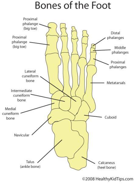 bones of the foot diagram ballet arhtistic license