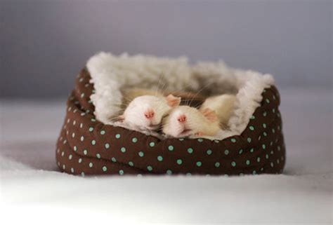 rat bedding incredibly cute rats photography by jessica florence