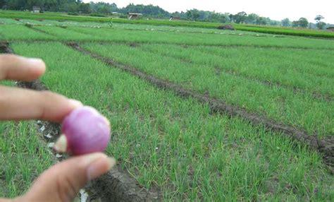 maluku kembangkan tanaman bawang merah  hektar