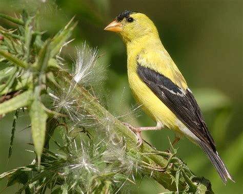 american goldfinch facts habitat diet life cycle pictures