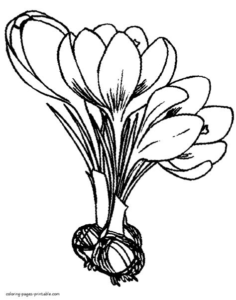 crocus flower coloring page crocus bulbs and flowers coloring pages