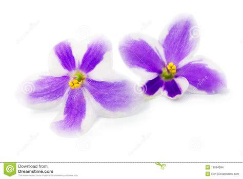 imagenes de flores llamadas violetas flores de la violeta imagenes de archivo imagen 18094284