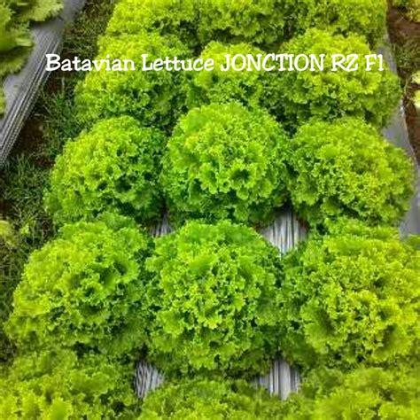 Bibit Benih Selada Lettuce Concorde Rz Rijk Zwaan Gb 158 jual benih lettuce batavian jonction rz rijk zwaan repack