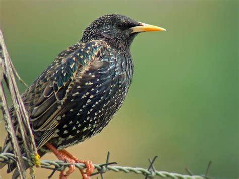 starling  grackle grackle birds backyard birds