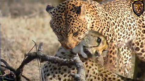 jaguars vs cheetahs leopard vs cheetah cheetah killed by leopard animal