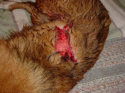 wounds on dogs wounds bleeding 2 safety