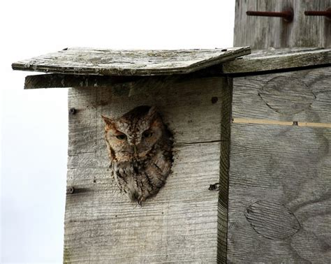Do When You Build A Nest by Owl Box Plans Learn About Owl House Design And Owl Nest