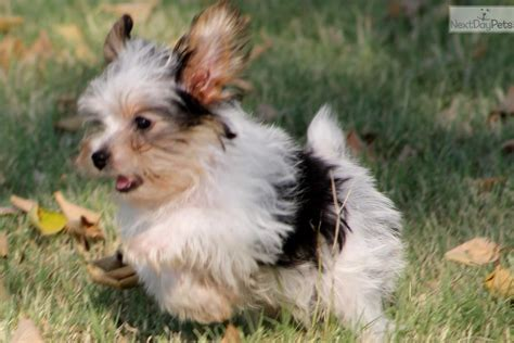 tri color yorkie pictures terrier yorkie puppy for sale near dallas fort worth