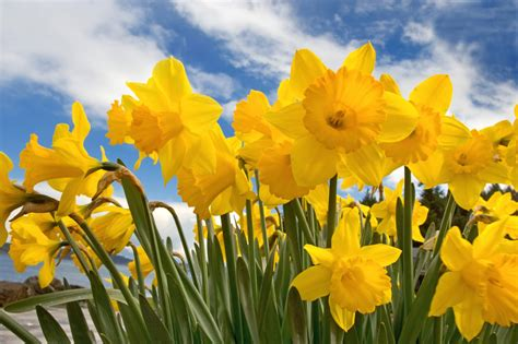 imagenes flores amarillas wallpapernarium flores amarillas