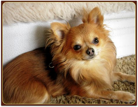 hair cuts for long haired chihuahuas dogs little bear the long haired chihuahua phoenix wolf