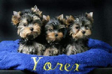 free puppies augusta ga pets augusta ga free classified ads