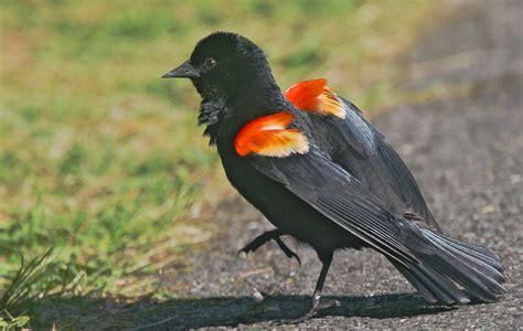 northeastern u s birds by john
