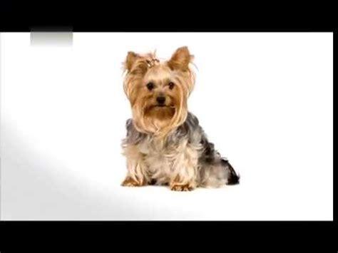 animal planet dogs 101 yorkie terrier funnydog tv
