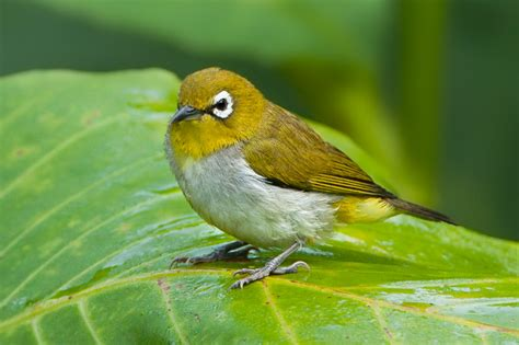 Harga Pakan Burung Pleci Nastar gambar burung kicau liar