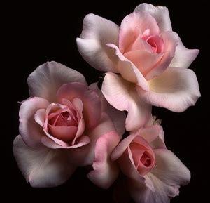 Ayuna Pink pink roses sweet flower wallpaper