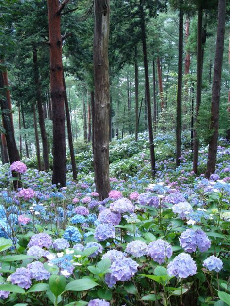 hydrangea hill cottage a forest of hydrangeas