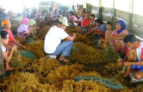 Bibit Rumput Laut nasib pesisir pantai di sentra rumput laut sulawesi