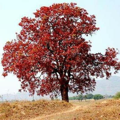 buy kusum tree ceylon oak  kg seeds   nursery   seeds  lowest price