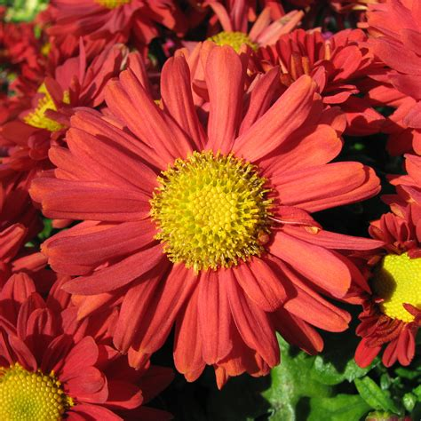 file red chrysanthemum jpg wikimedia commons