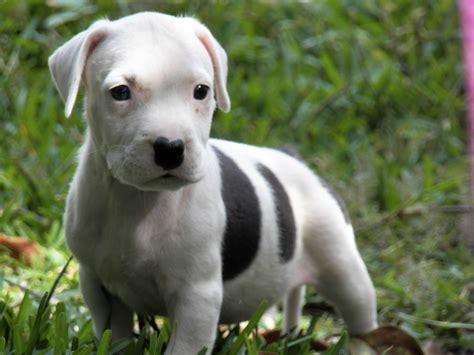 images of pitbull puppies american pit bull terrier puppies rescue pictures information temperament